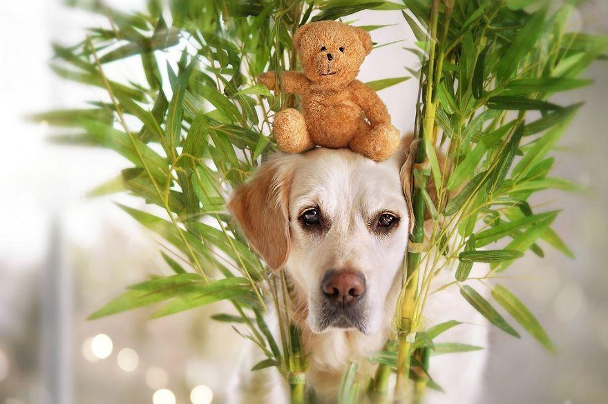 The Adventures Of Golden Retriever Mali And His Teddy Bear   Bored Panda