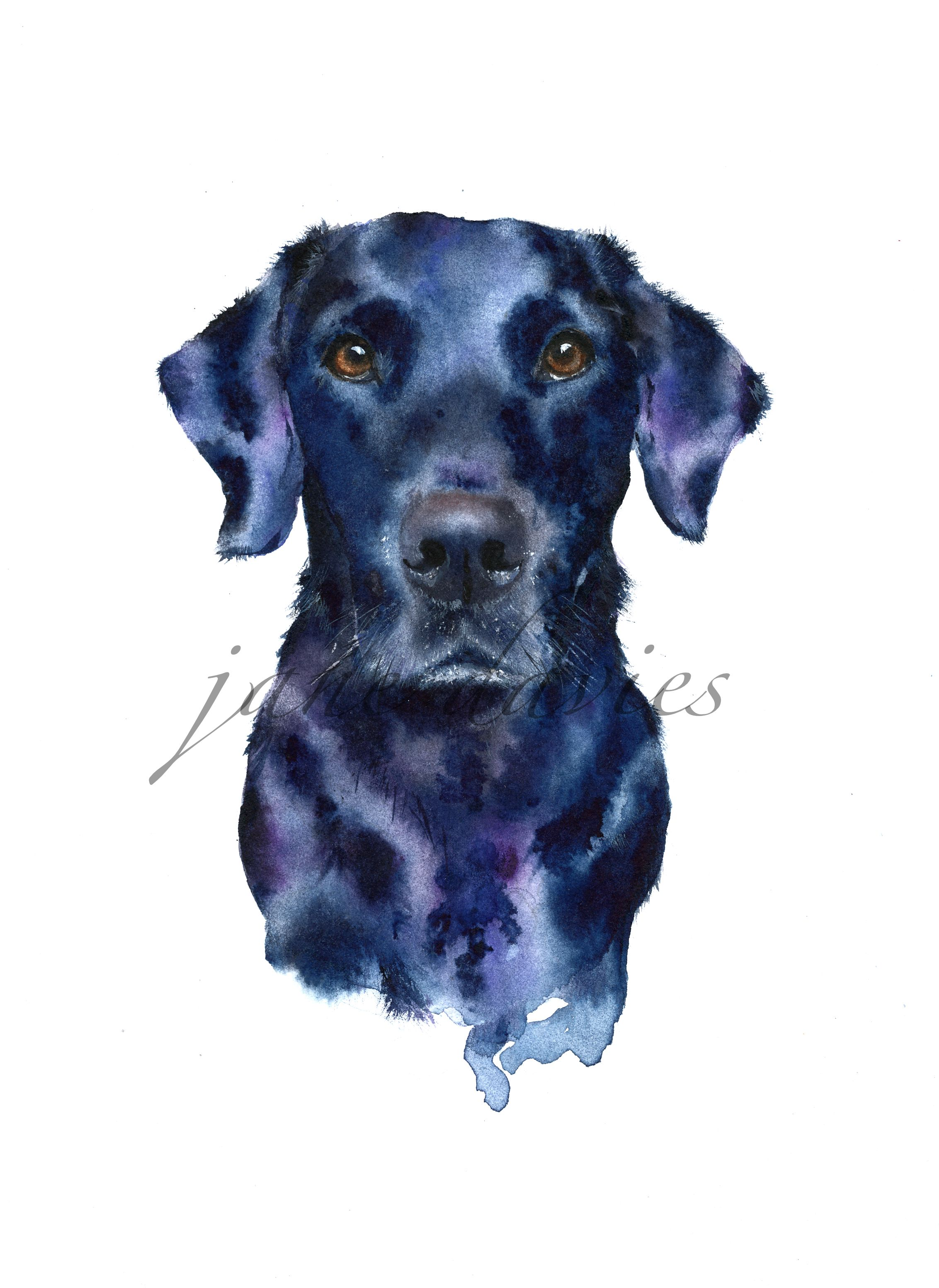 Black Labrador painted by watercolour artist Jane Davies. Available as an LIMITED EDITION PRINT.