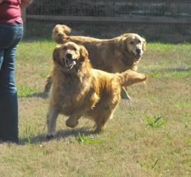 Vince And Chase Is An Adoptable Golden Retriever Dog In Cambridge