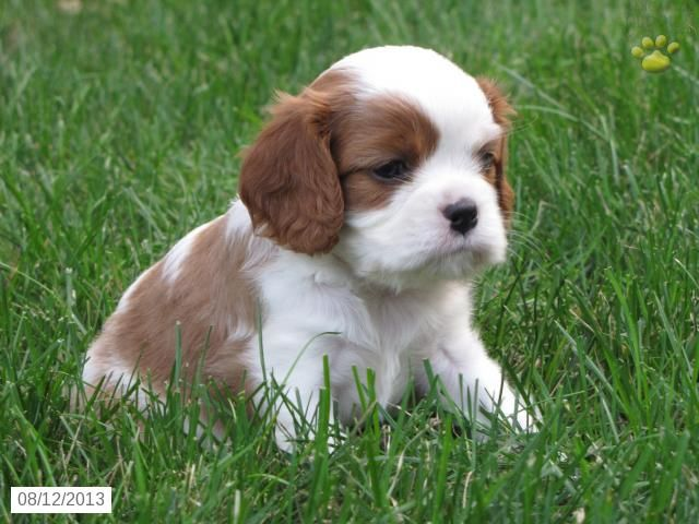 Misty Cavalier King Charles Spaniel Puppy For Sale In Richland