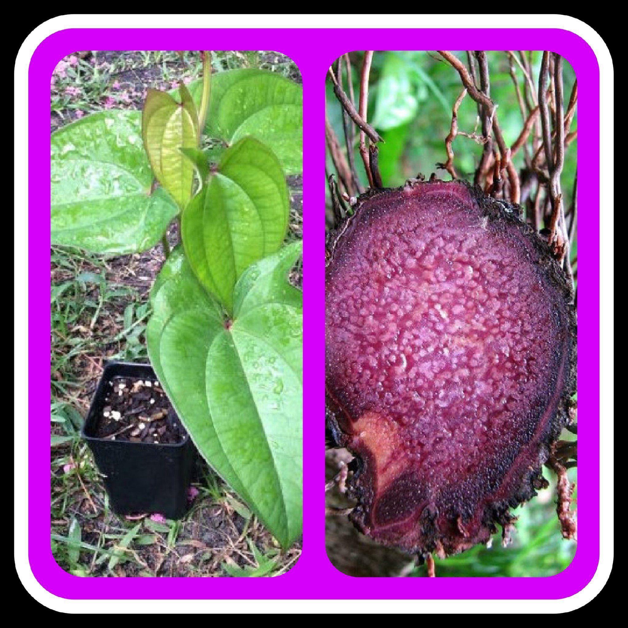 UBE Purple Yam Starter Plant, Dioscorea Alata Products