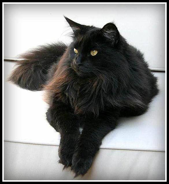 F35b81531aa2c30c0a37ca414ccb9f8a Jpg 585 635 Fluffy Black Cat