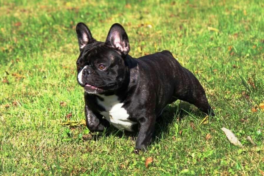 Bonbon French Bulldogs Www Bonbonfrenchies Com Bulldog Bon Bons