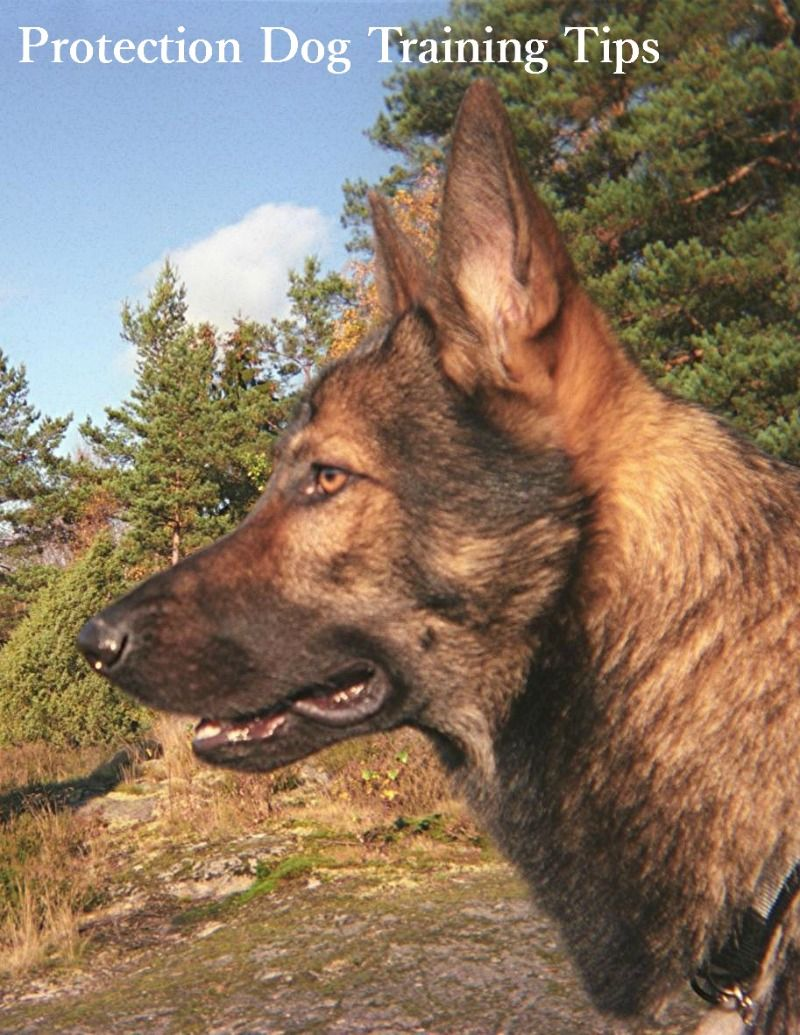 Protection Dog Training What You Should Know German Shepherd