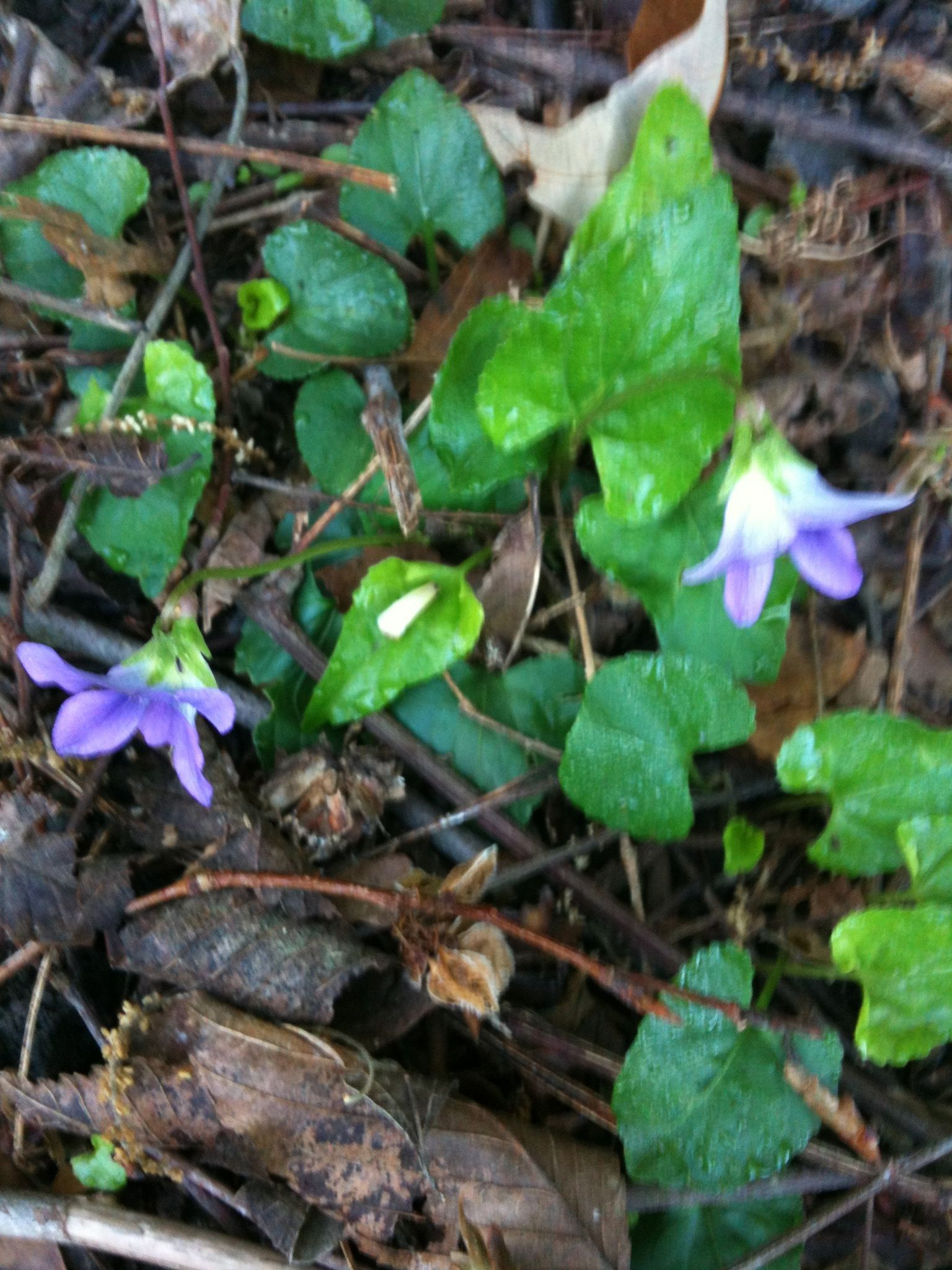 Violets growing in the park. I'm new to Little Rock and