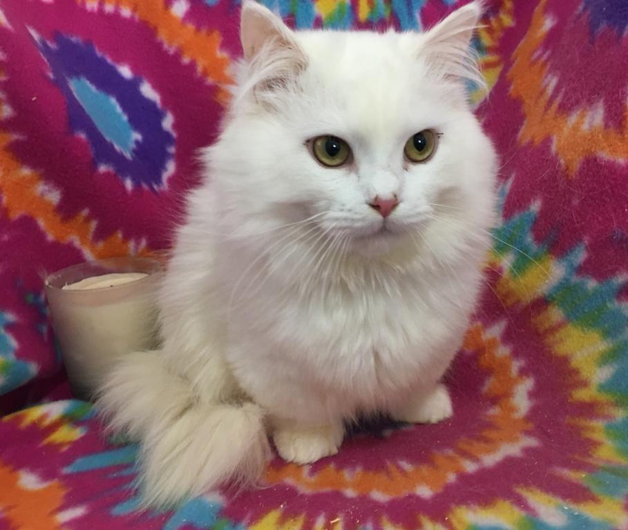 White Standard Male Male Munchkin Kitten For Sale In Minnesota United States Profile Id 17808 Cat Breeder Munchkin Kitten Munchkin Cat