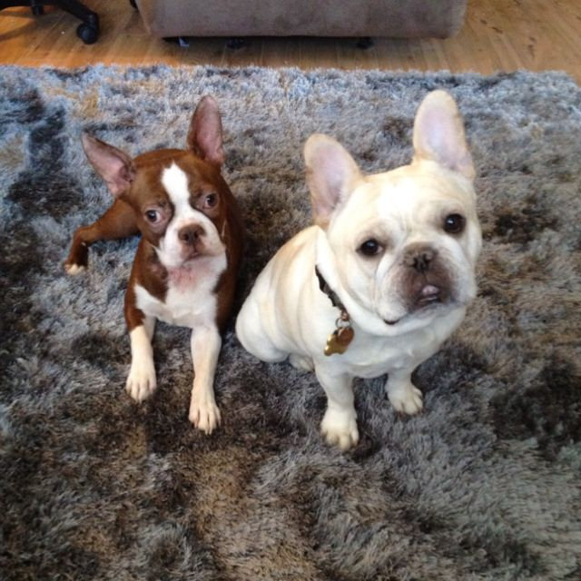 Lexi And Yoda Our Boston Terrier And French Bulldog French Bulldog Dogs Puppies Dogs