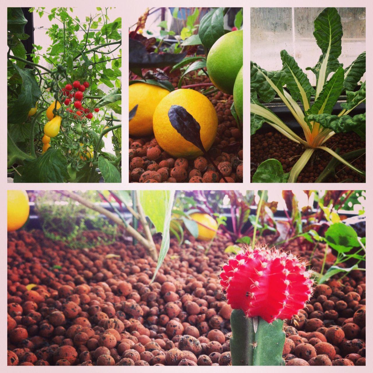 #aquaponics #gardening #aquaponic #cactus #lemon #tomato #organic #growing #garden #hydroponic #aquaculture