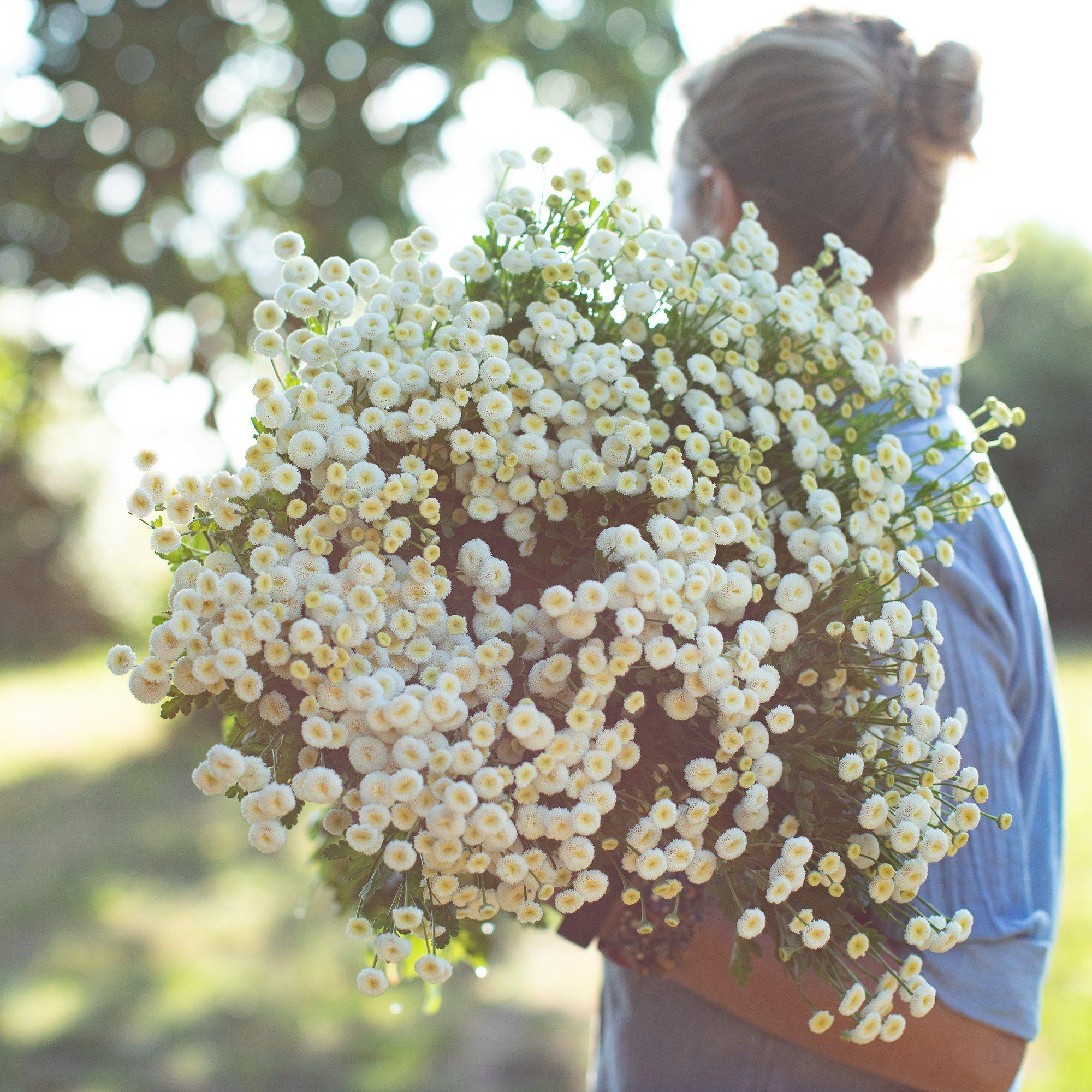 Feverfew Vegmo Snowball In 2020 Feverfew Plant White Wedding Flowers Feverfew