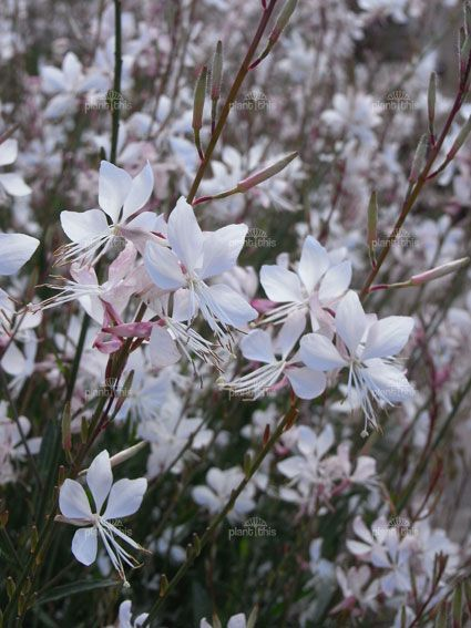 Whirling Butterfly Bush White flowers dance in the wind | Sun Plants ...