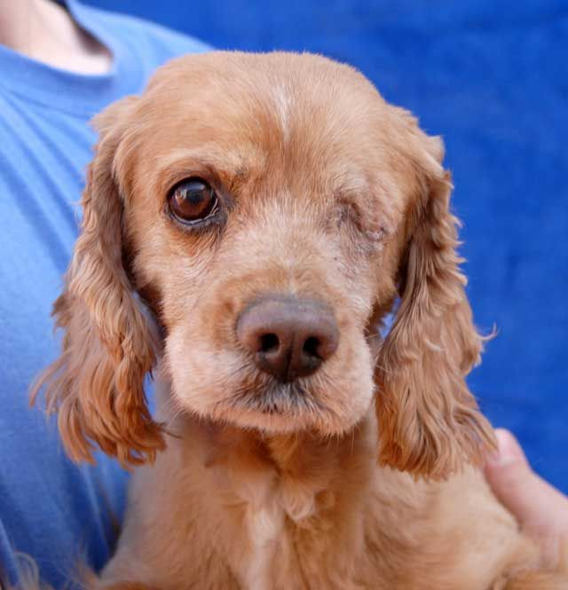 Bailey Is An 8 Year Old Cocker Spaniel With An Angelic Temperament