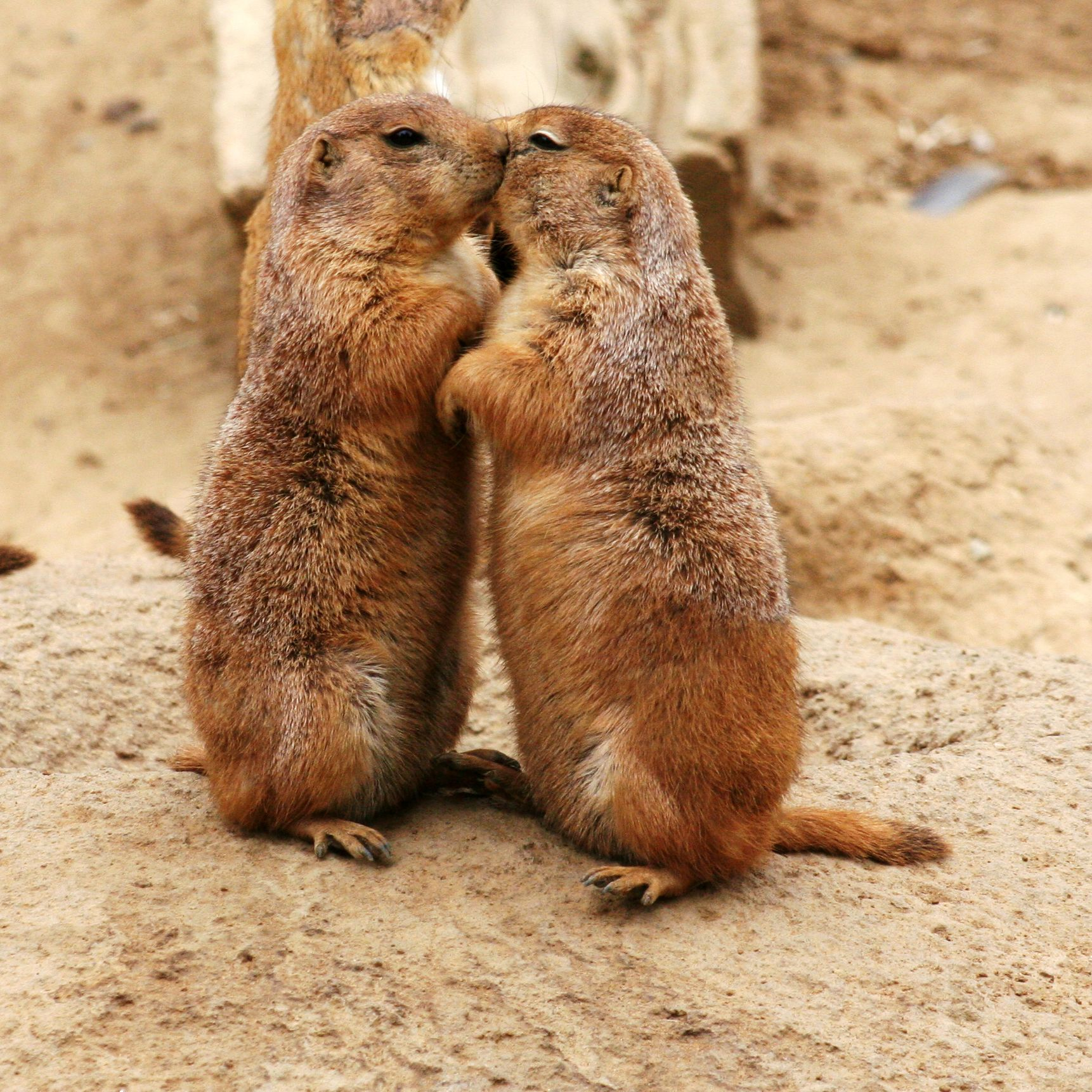 Marmotas besándose en San Valentín