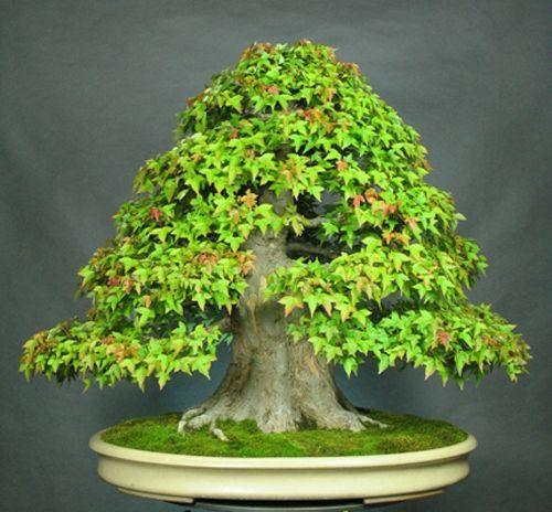 pin von angie hemker auf bonsai bonsai bonsai baum und. Black Bedroom Furniture Sets. Home Design Ideas