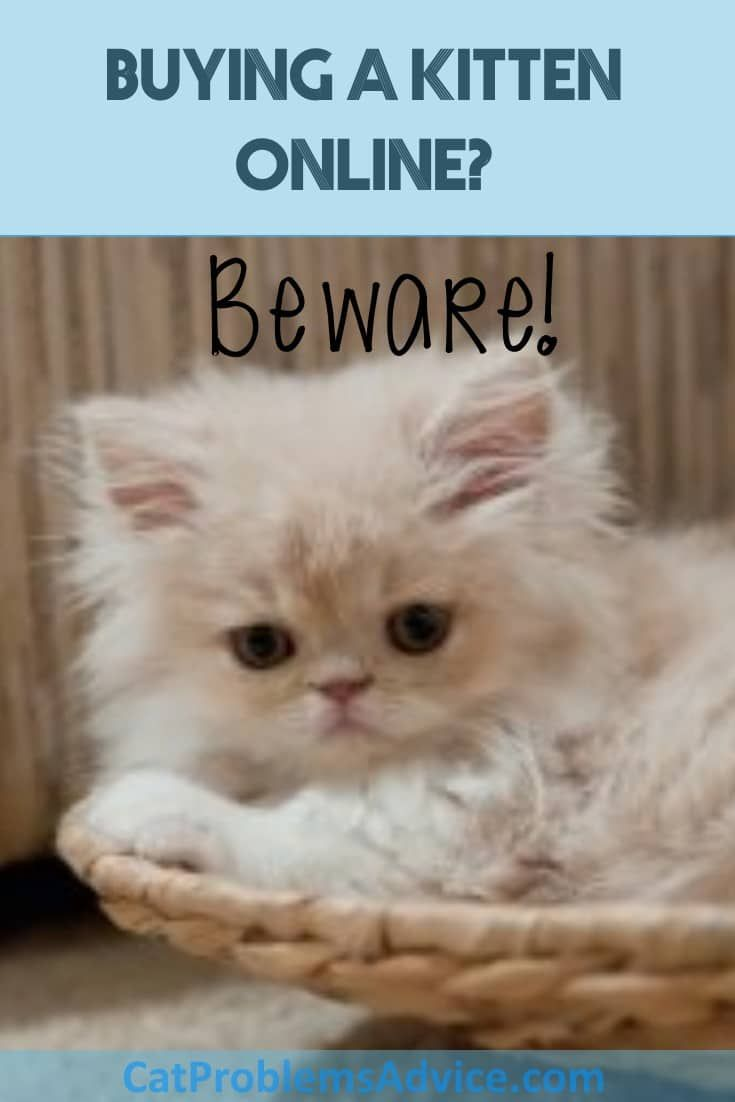 Buy Kittens Online At Your Peril Please Read On Do Not Become A Victim Cats Cute Cats Kittens Cutest