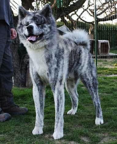 A Silver Brindle Akita Inu Or Japanese Akita Japanese Akita Japanese Dogs Japanese Dog Breeds