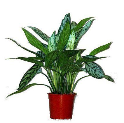 Plantas de interior que no necesitan mucha luz - Plantas de interior que no necesitan luz ...