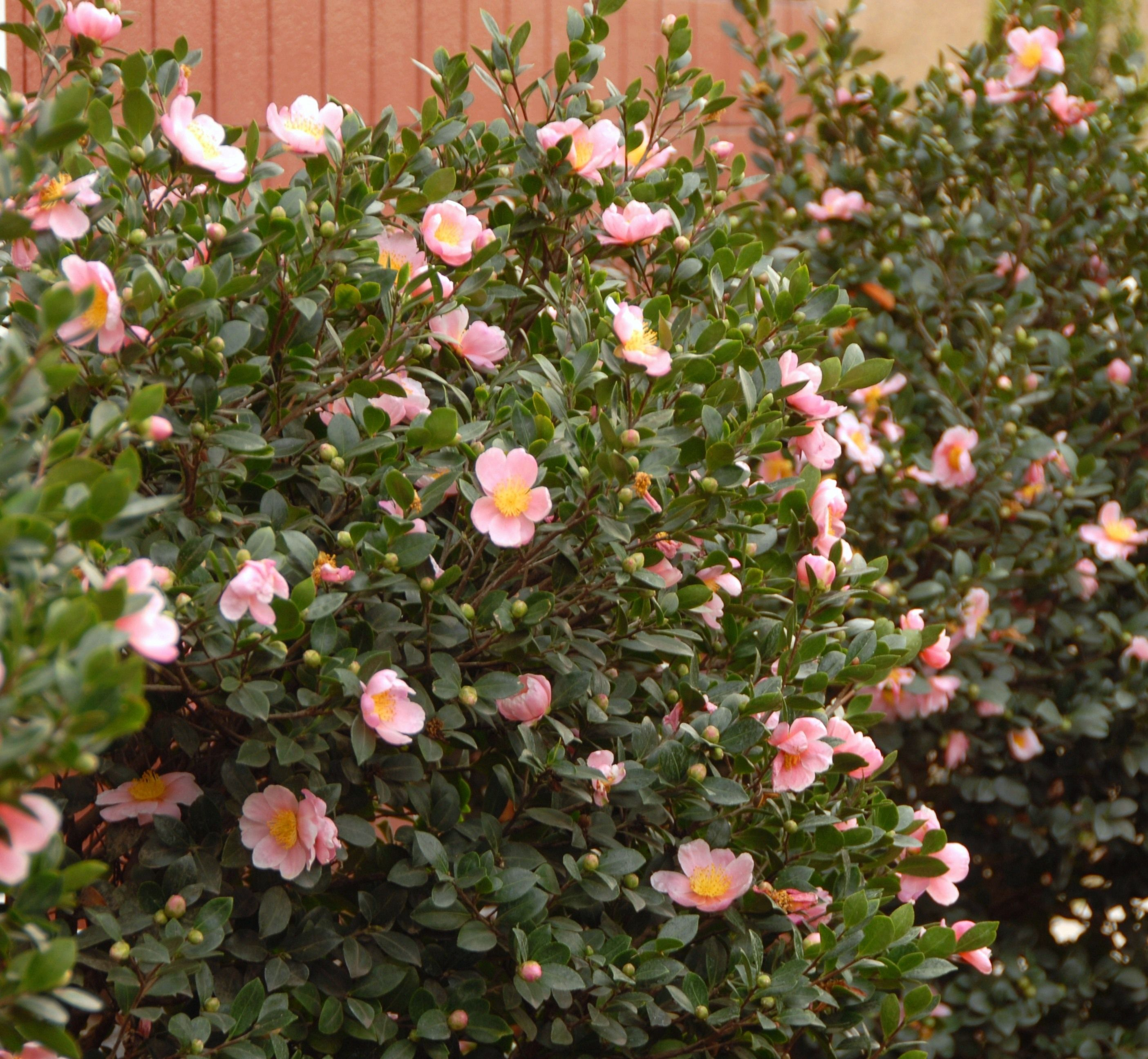 Everyone Loves A Fragrant Hedge The Pink A Boo Camellia S Large Wonderfully Fragrant Deep Pink Blooms Are Camellia Plant Monrovia Plants Evergreen Plants