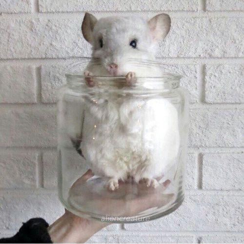 Cute White Chinchilla Peeking Out Of A Glass Jar Chinchilla
