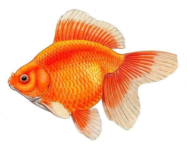 Fantail The Goldfish Council Goldfish Art Goldfish Beautiful Fish