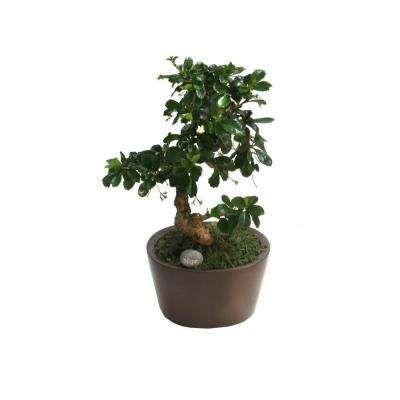 Bonsai Small 6 In Fukien Tea Ceramic Pot Plants Bonsai Ceramic Pot