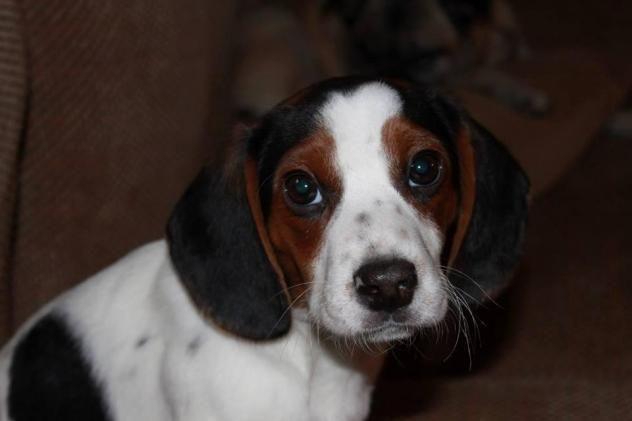 Adopt Stella 11 Weeks On Beagle Dog Animal Rescue Adoptable