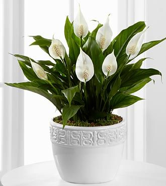 Elegant Peace Lily   Perfect Office Plant. Apparently It Works Like An Air  Purifier. Yes