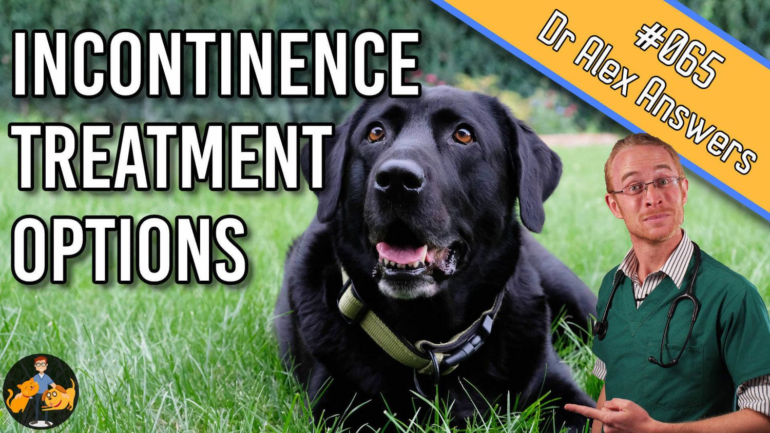 Treating Incontinence In Dogs Stop Your Dog Leaking Incontinence In Dogs Is Common In Middle Aged Neutered Fema Dog Incontinence Incontinence Dog Coughing