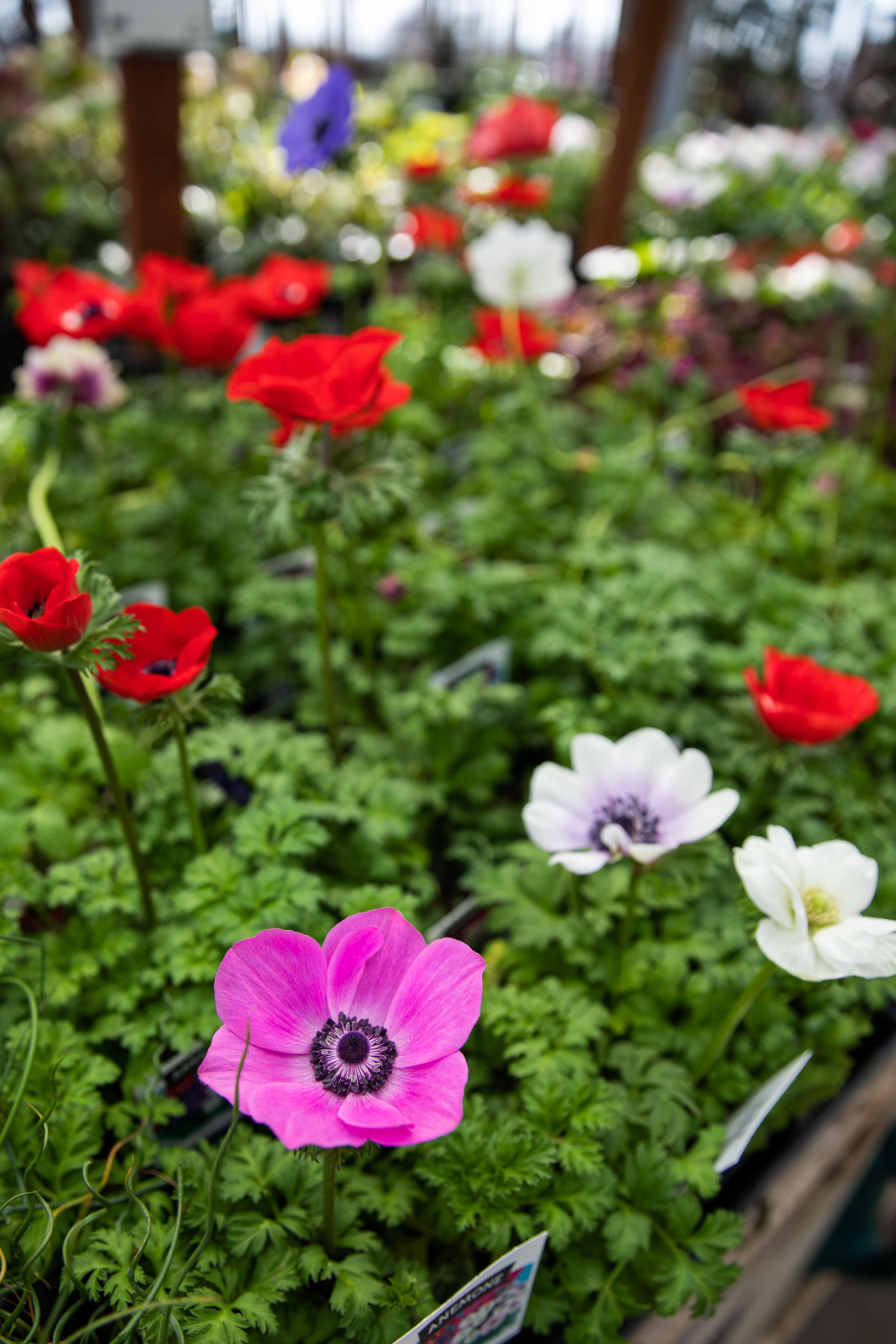 Anemone Coronaria In 2020 Poppy Flower Plants Alyssum
