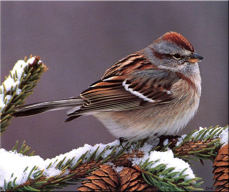 Birds of North America American Tree Sparrow | Beautiful ...