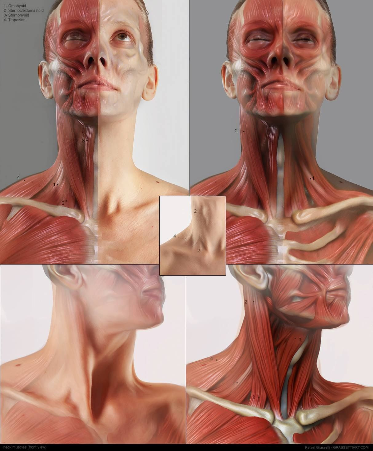 Anatomía, músculos, cuello | Human Anatomy | Pinterest | Human ...
