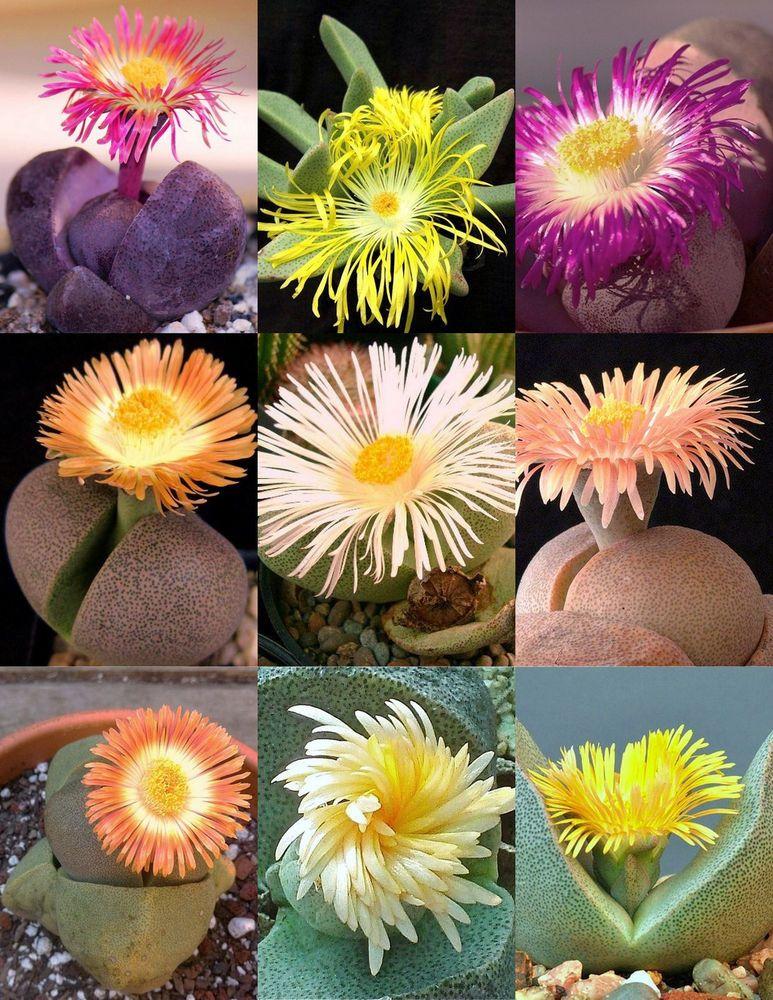 Pleiospilos Nelii rare succulent mesembs rock living stones cactus seed 50 SEEDS