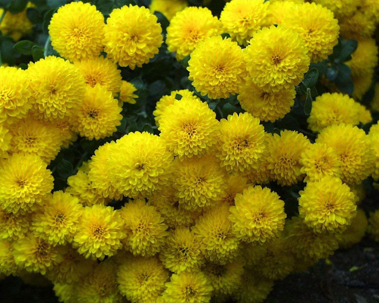 Marigolds always a favorite in the garden gardening pinterest yellow marigolds in pot mightylinksfo