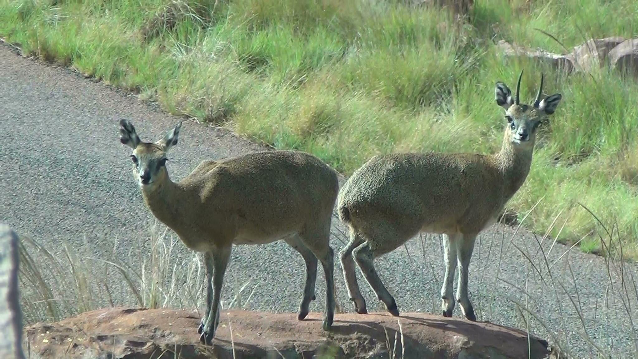 Klipspringers, Marakele