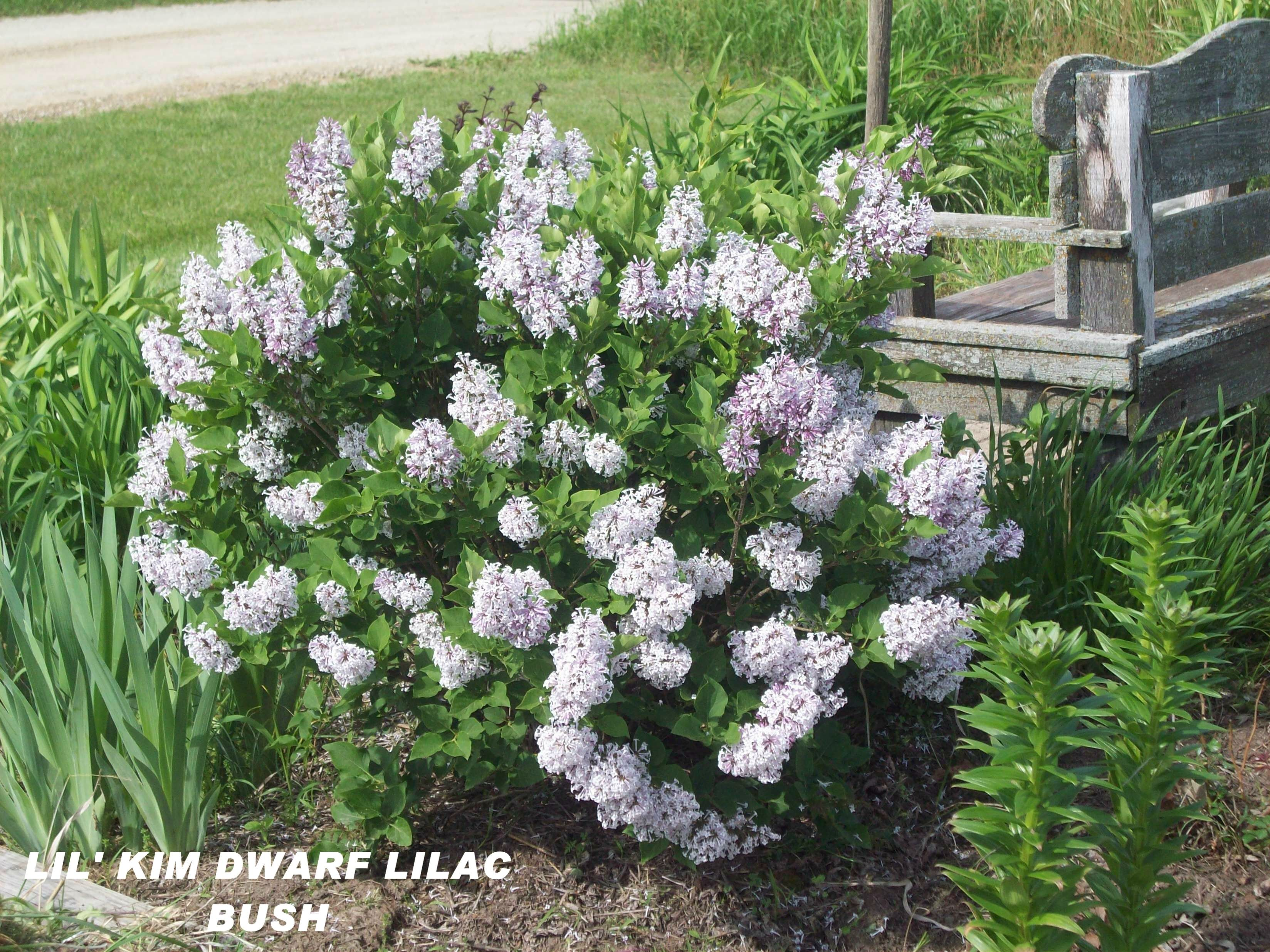 Lil 39 Kim Dwarf Lilac Bush In Front Of House Around The