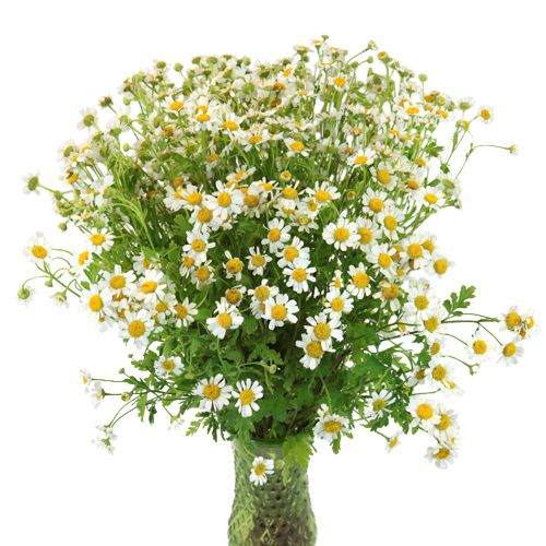 Feverfew Daisy Wholesale Cut Flower May To October Just Flower