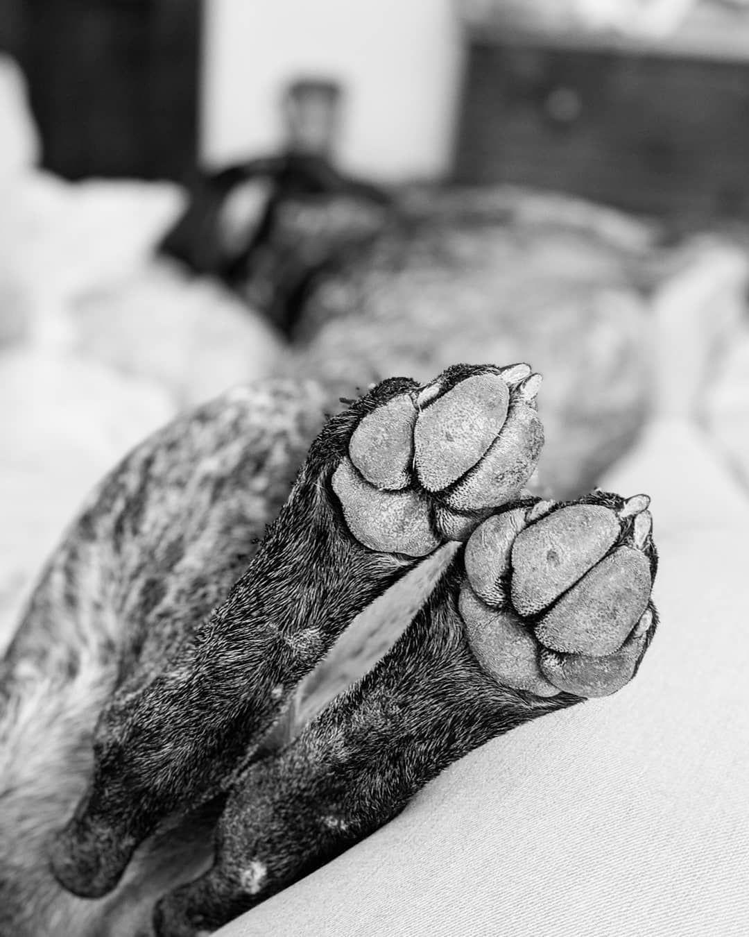 #Ella#staffordshirebullterrier#puppy#illustration#ipadproartist#adobefresco#adobe #mehacesundibujito