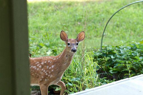 How To Keep Deer Out Of My Yard | Deer Proof Gardening | How To Repel Deer