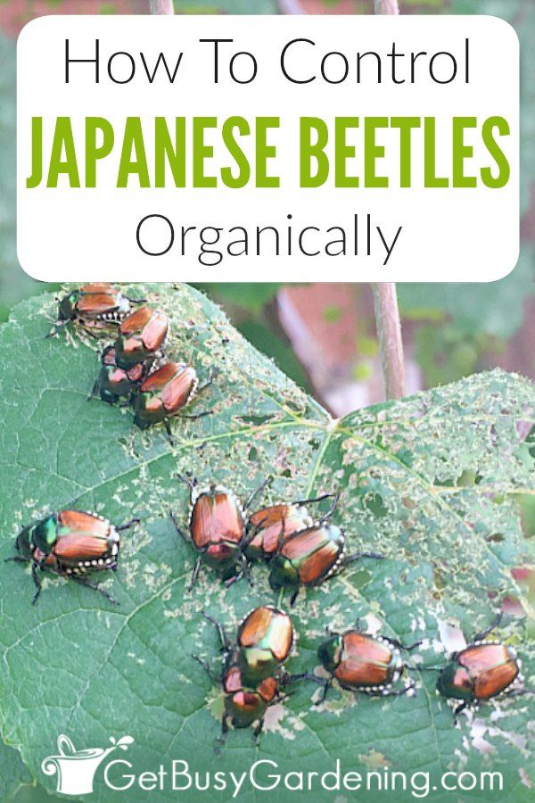 296cccad98105b7d25f384dc188e5274 - How To Get Rid Of Japanese Beetles On Basil Plants
