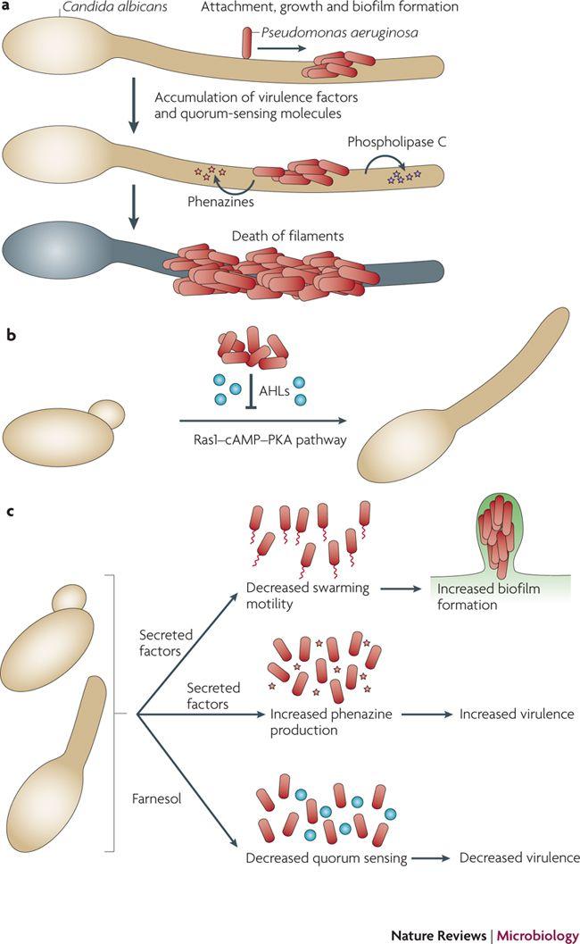 Candida albicans - Wikipedia