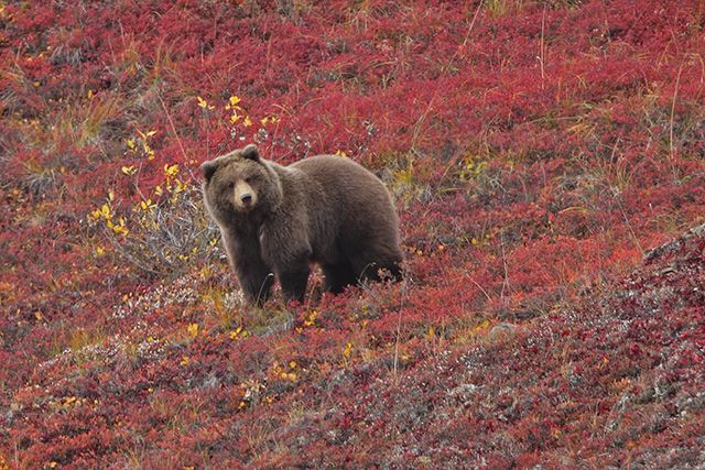 Monster Grizzly Bear Google Search Animals Beautiful Bear Weather Underground
