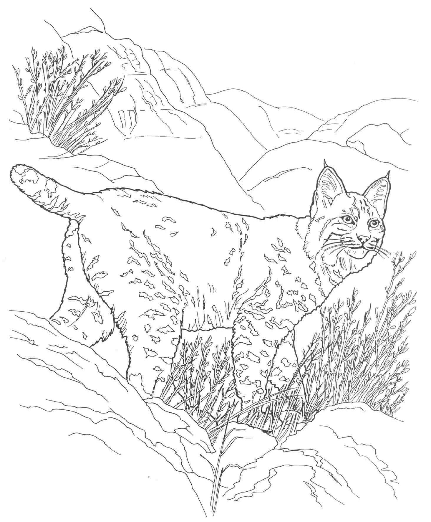 Desert Animals Coloring Pages Bobcat Desert Animals Coloring