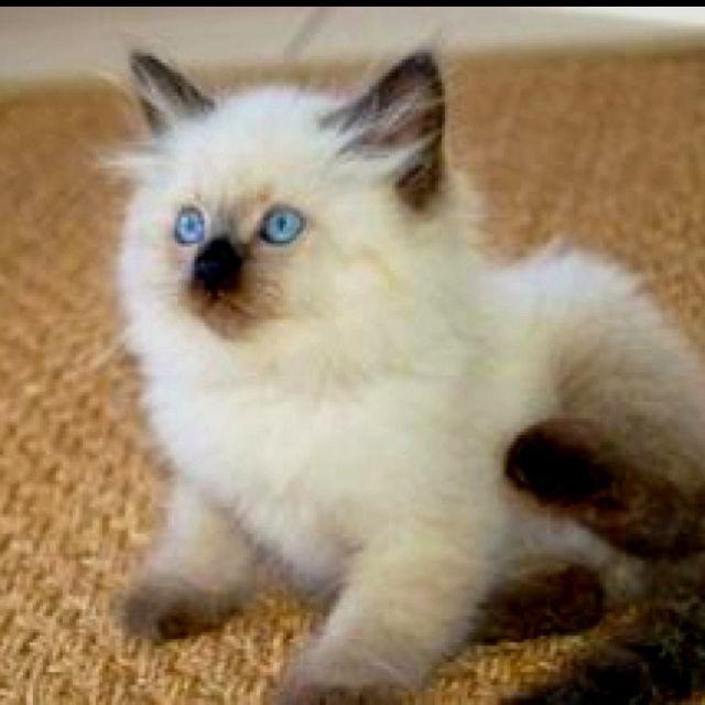 Chachi Our Siberian Cat Siberian Cat Pretty Cats Siberian Kittens