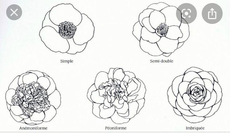Pin By Skyla On Posibles Tatuajes In 2020 Flower Drawing Camellia Flower Flower Sleeve