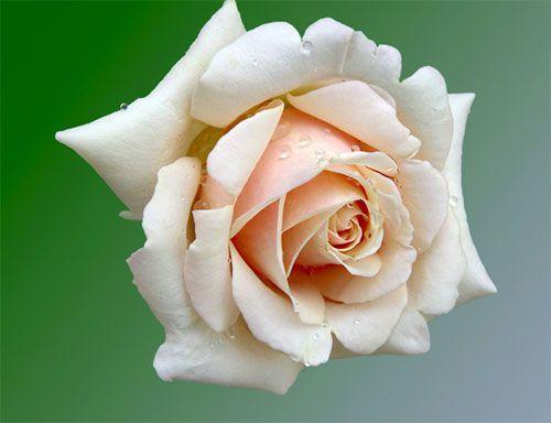 June - Birth-Flower.com