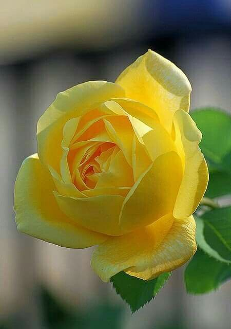 Cute yellow rose flower postalitas de miecoles pinterest cute yellow rose flower mightylinksfo