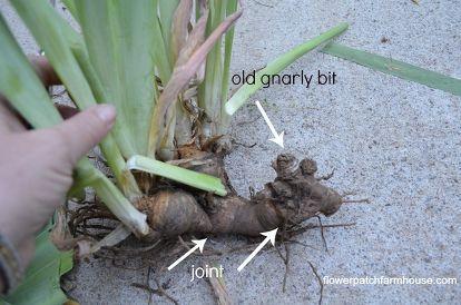 Digging Up And Separating Iris Iris Rhizomes Iris Flowers Iris Garden