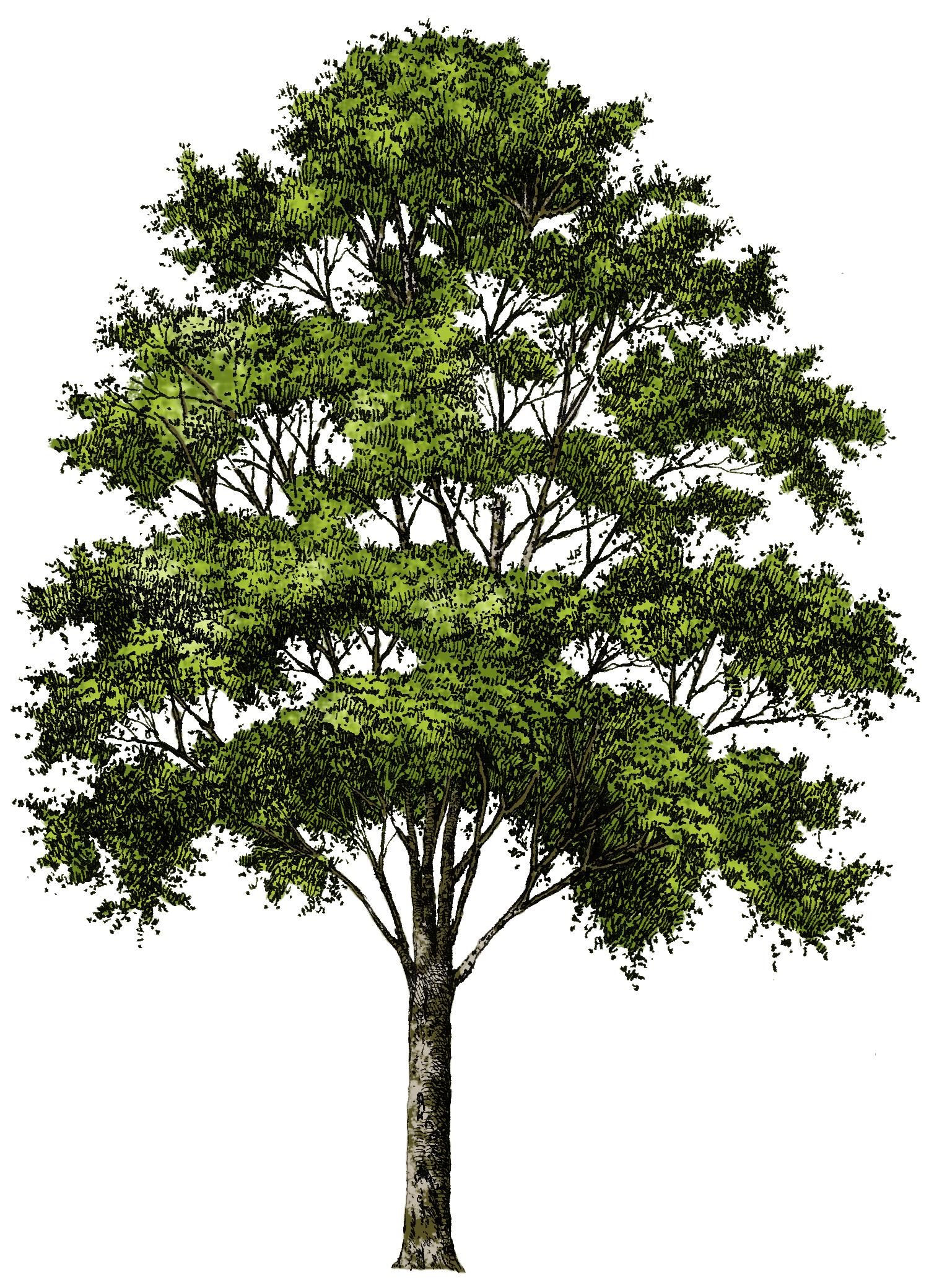 Pin by Michele Siliprandi on dwg o cad | Tree photoshop
