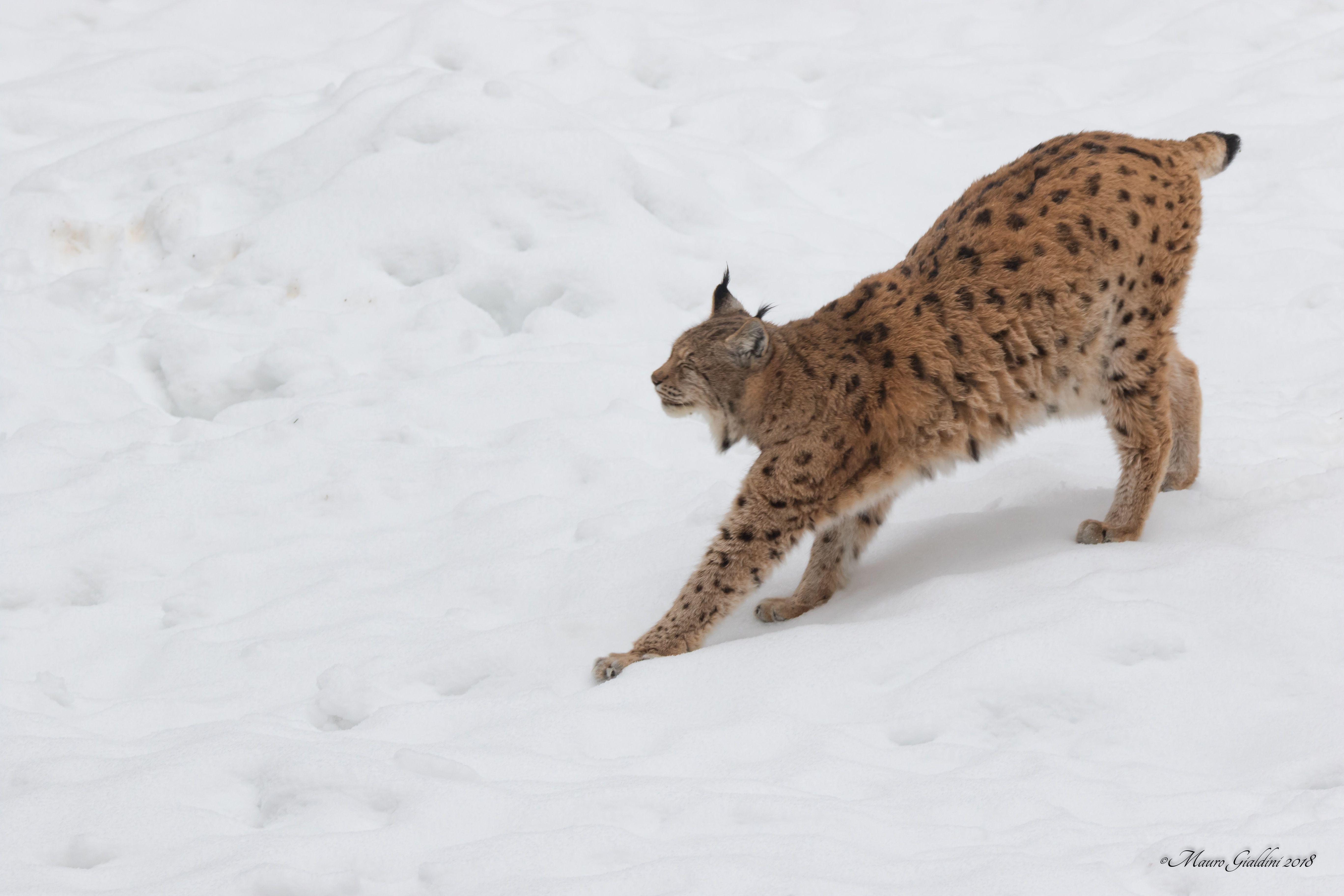 Lynx germany x we love animals pinterest