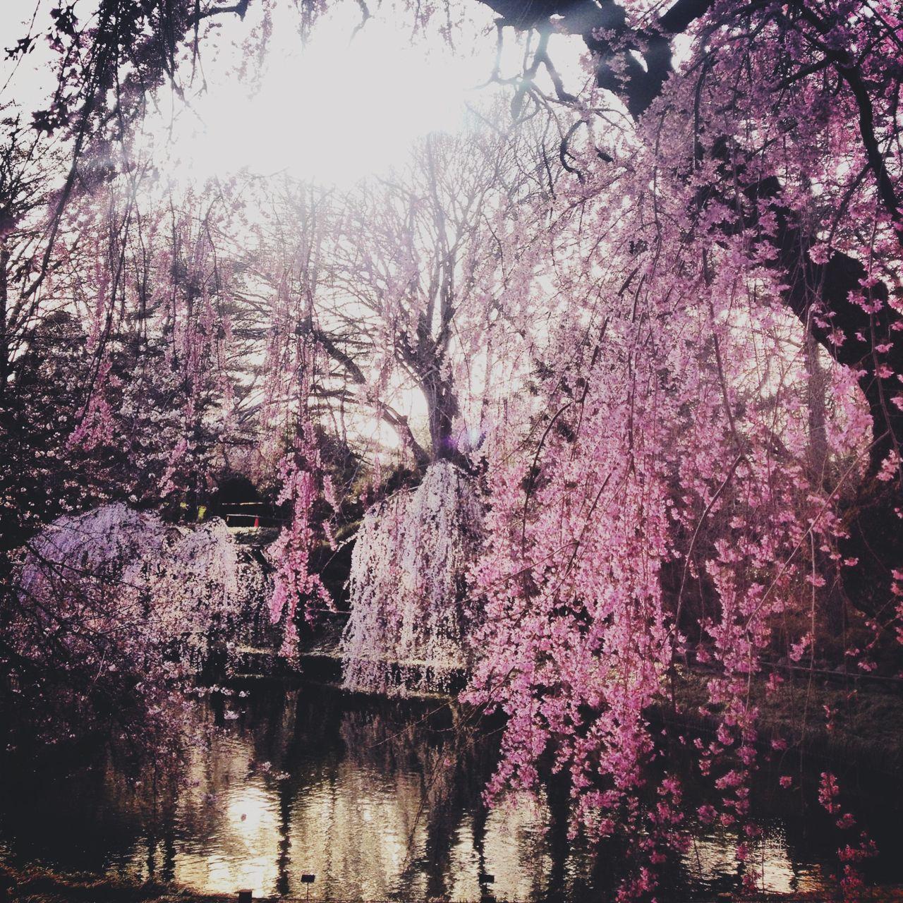 Cherry Blossoms In Brooklyn Botanic Garden.