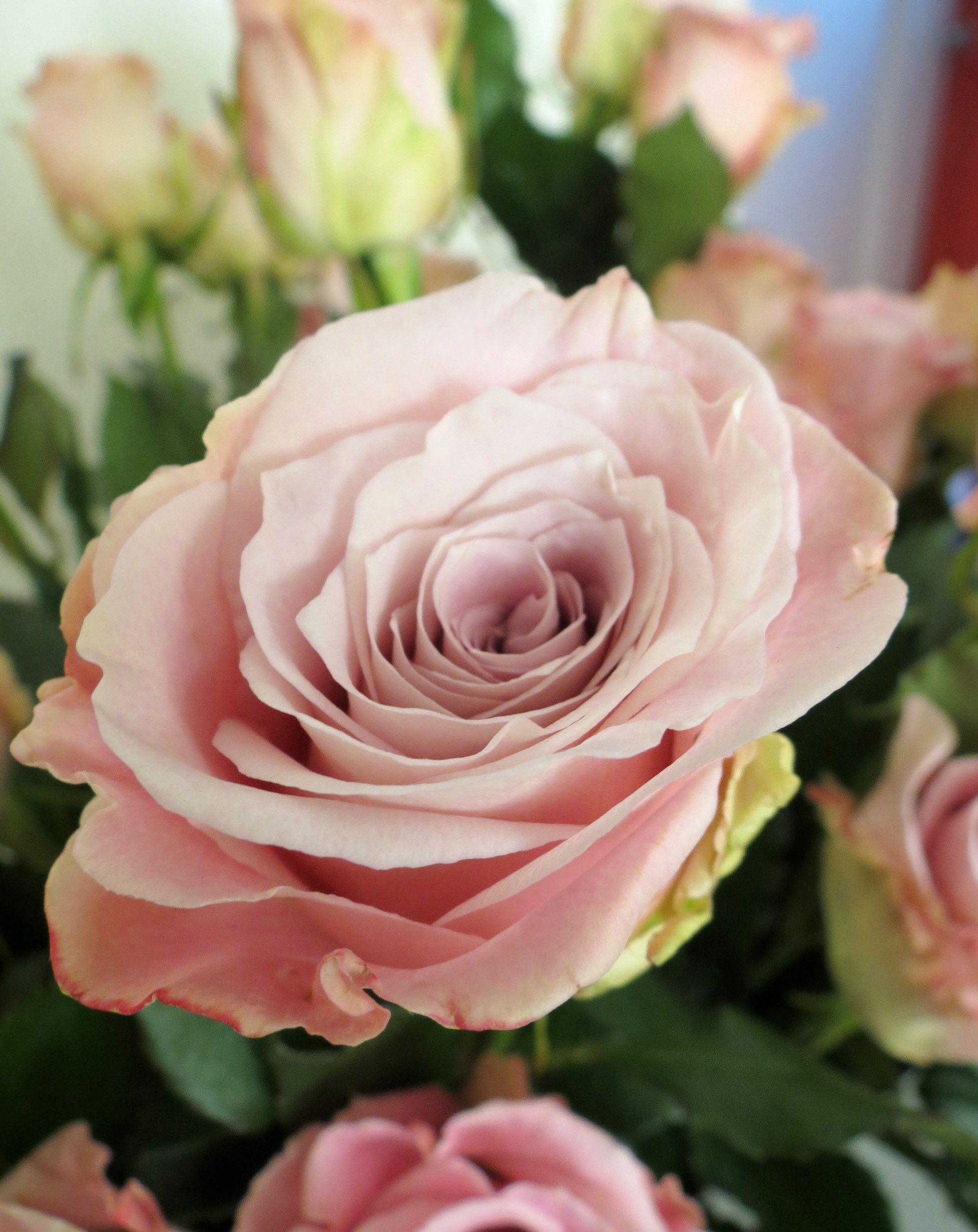 Faith Rose Dusky Pink